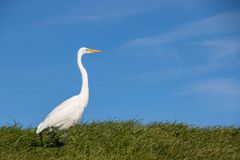 White Heron walking through tall, green grass on a sunny spring afternoon royalty free stock image