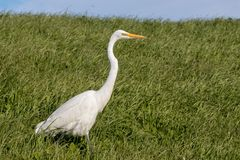 White Heron walking through tall, green grass on a sunny spring afternoon stock image