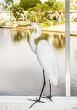 White heron walking on Royalty Free Stock Images