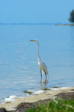 White heron at water. White heron at the ocean in florida looking for food royalty free stock photos