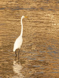 White Heron in the water Stock Photo