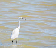 White heron in the water Stock Photos