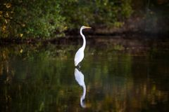 White heron Royalty Free Stock Photography