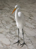 White heron whole Royalty Free Stock Photo