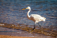 White heron. In the wild at the seashore Stock Photo