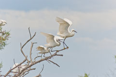 White herons Stock Photo