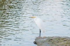 White Herons birds. Stock Photography