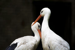 White Herons From The Zoo Stock Image