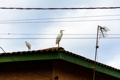 White herons stood up on a roof. Big brds white herons stood up on a roof with a tv wire Royalty Free Stock Photo