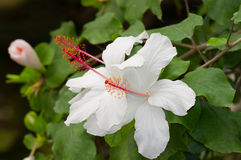 A white Hibiscus Royalty Free Stock Image