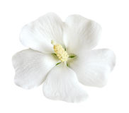 White Hibiscus Stock Photos