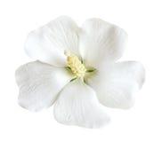 White Hibiscus Stock Photos
