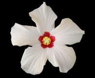 White hibiscus Royalty Free Stock Photo