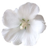 White hibiscus Royalty Free Stock Images
