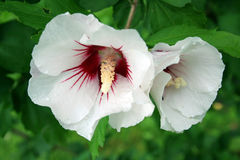 White Hibiscus. This image shows two blooms of hibiscus stock photo