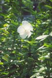White Hibiscus Blossom China Rose flower, Malvaceae. Mellow Stock Photos