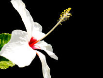 White Hibiscus Royalty Free Stock Photography