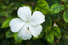 White Hibiscus. Stock Photos
