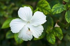 White Hibiscus. Stock Photos