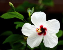 White Hibiscus. Close-up View of a White Hibiscus Flower Royalty Free Stock Image