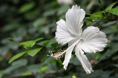 White hibiscus Stock Photo