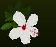 White hibiscus flower Royalty Free Stock Images
