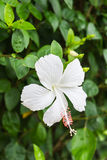 White Hibiscus flower Royalty Free Stock Photo