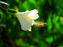 White hibiscus flower Stock Images