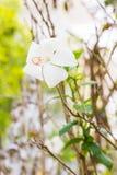White hibiscus flower. In garden Royalty Free Stock Photo