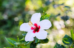 White hibiscus flower. Royalty Free Stock Images