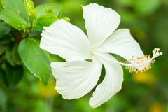 White Hibiscus flower. Stock Photography