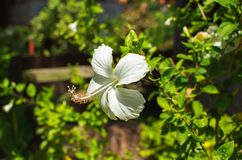 White hibiscus flower with gentle petals. Exotic flower on green bush. Royalty Free Stock Photography