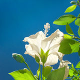 White Hibiscus Flower and Green Leaves againt Blue Sky Stock Photos