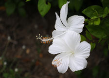 White Hibiscus flower Royalty Free Stock Photography