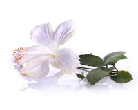 White  hibiscus flower isolated on white background Stock Photos