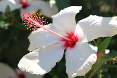 White Hibiscus flower - Malvaceae. A large showy white Hibiscus flower - a member of the Mallow family -also known as rose mallow Royalty Free Stock Images