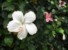 White hibiscus flower with pink pollen stock image