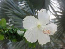 White Hibiscus flower in tropical garden. Very delicate pretty white  hibiscus flower blooming in a tropical garden with fronds of palm trees in the background Royalty Free Stock Photo
