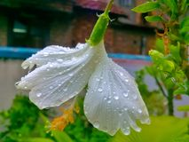 White hibiscus flower water drops on green leaf and petals. Photo click after rain . rain drop royalty free stock photo