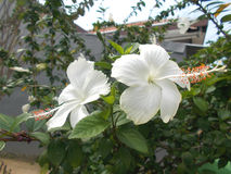 White hibiscus flower. On the tree Stock Photo