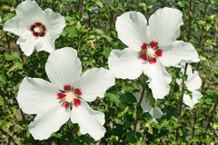 White hibiscus flowers Stock Photo