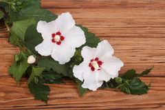White hibiscus flowers Royalty Free Stock Photography