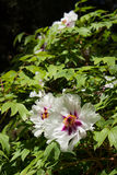 White Hibiscus flowers. Hibiscus bush of buds, petals are white, purple and yellow heart, juicy green leaves in the sun, dark background. Crimea, Ukraine Stock Photos