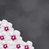 White hibiscus flowers, Hibiscus rosa-sinensis, hibiscus chinese, known as rose mallow, black texture background, close up. White hibiscus flowers, Hibiscus stock image