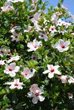 White Hibiscus flowers Stock Photo