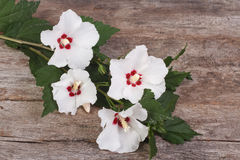 White hibiscus flowers on a wooden Royalty Free Stock Photography