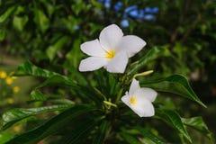 White hibiscus Stock Photo