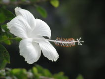White hibiscus in garden. Taken at India Nehru Museum ( Mumbai ), in the outer garden. This scene has a dark background that make the white flower stand out Royalty Free Stock Images