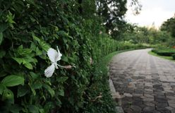 White hibiscus in the graden Royalty Free Stock Photo