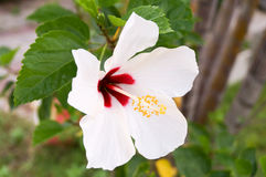 White hibiscus. Has red color in the center , yellow pollen and white leaves.So wondrful Royalty Free Stock Images